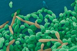 Бактерии Кандида